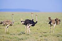 Ostrich. Scientific Name: Struthio camelus Serengeti National Park,Tanzania, Africa