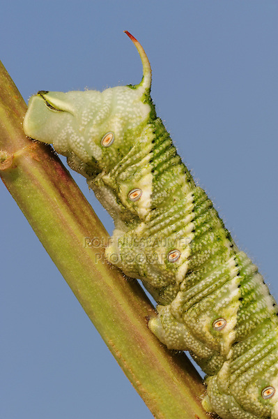 Carolina Sphinx (Manduca sexta), caterpillar on plant, Dinero, Lake Corpus Christi, South Texas, USA