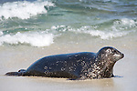 Children's Pool, La Jolla, California; a Harbor Seal (Phoca vitulina) emerges from the shallow water and onto the sandy beach