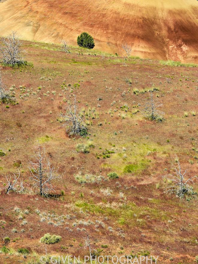 Junipers, Painited Hills, Oregon