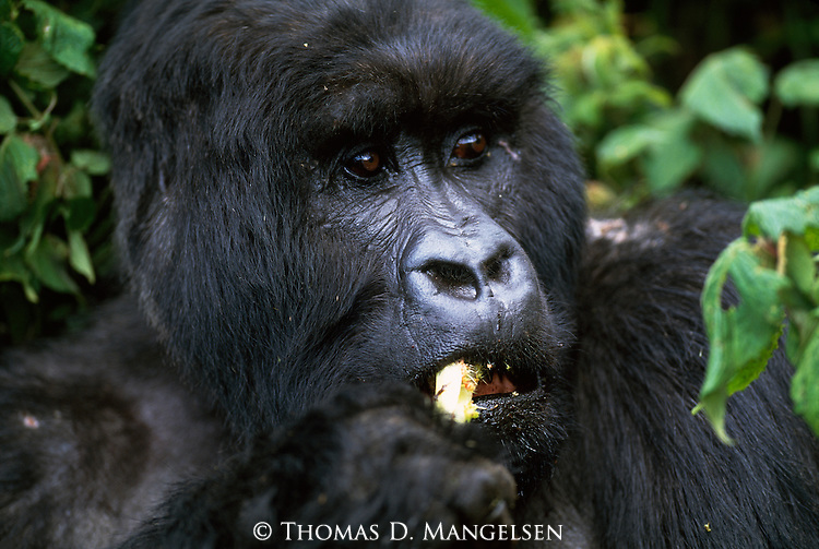 Portrait of feeding mountain gorilla.