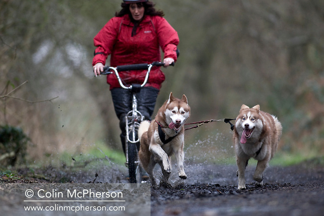 Debbie Pullen being pulled along on a sled by two huskies on a track near her farm at Staintondale, north Yorkshire. In September 2006, Debbie and her husband Michael set up Pesky Husky Trekking, which allows visitors to their farm the experience of being pulled on a scooter by Siberian huskies either on a purpose-built training track or a nearby disused railway line. By diversifying their farming business they were aiming to make their farm more financially viable.