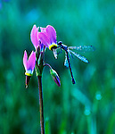 Shooting star wildflowers and a damsefly in the Sierra Nevada, California