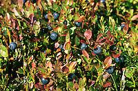 Blaubeere, Blau-Beere, Heidelbeere, Heidel-Beere, Früchte, Vaccinium myrtillus, Bilberry, Blueberry, Whinberry, Whortleberry