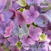 Gisela, FLOWERS, BLUMEN, FLORES, photos+++++,DTGK2449,#f#, EVERYDAY
