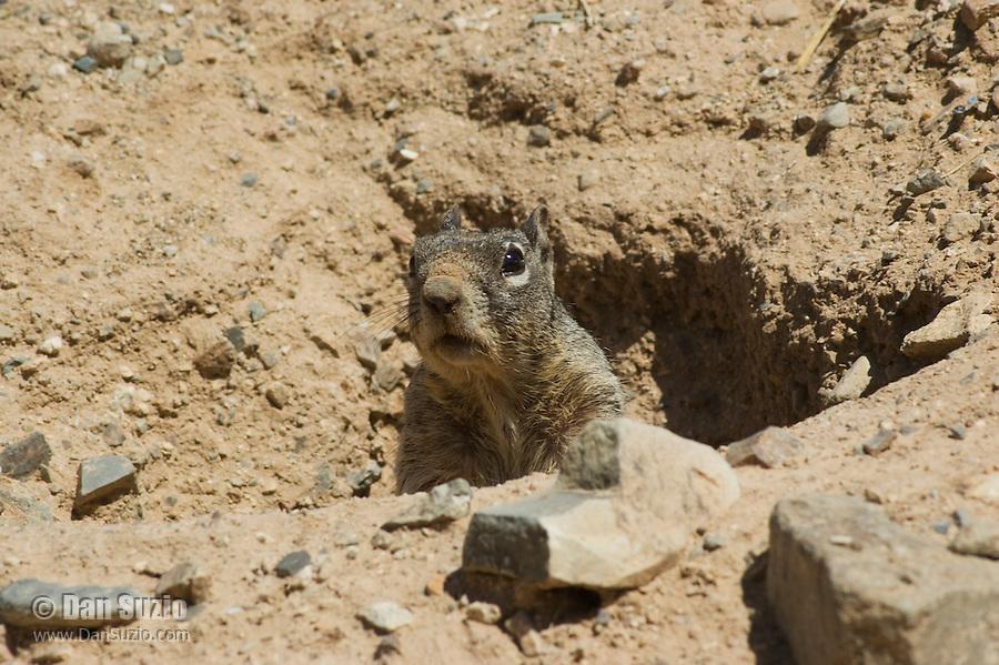 Rock squirrel, Otospermophilus variegatus (Citellus variegatus). Arizona-Sonora Desert Museum, Tucson, Arizona
