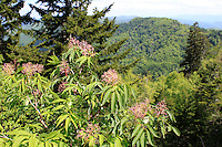 Stock photo of a wildflower tree overlooking the hills of Smoky mountains national park, Tennessee, America