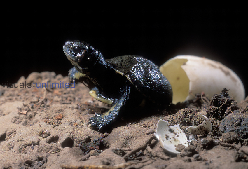 Western pond turtle (Clemmys marmorata) having just hatched out of its egg. Columbia River Gorge, Washington USA.