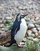 ZSL London Zoo Annual Count<br /> 4th January 2016 <br /> London Zoo, Regent's Park, London, Great Britain <br /> <br /> Rockhopper Penguin <br /> <br /> <br /> <br /> Photograph by Elliott Franks <br /> Image licensed to Elliott Franks Photography Services