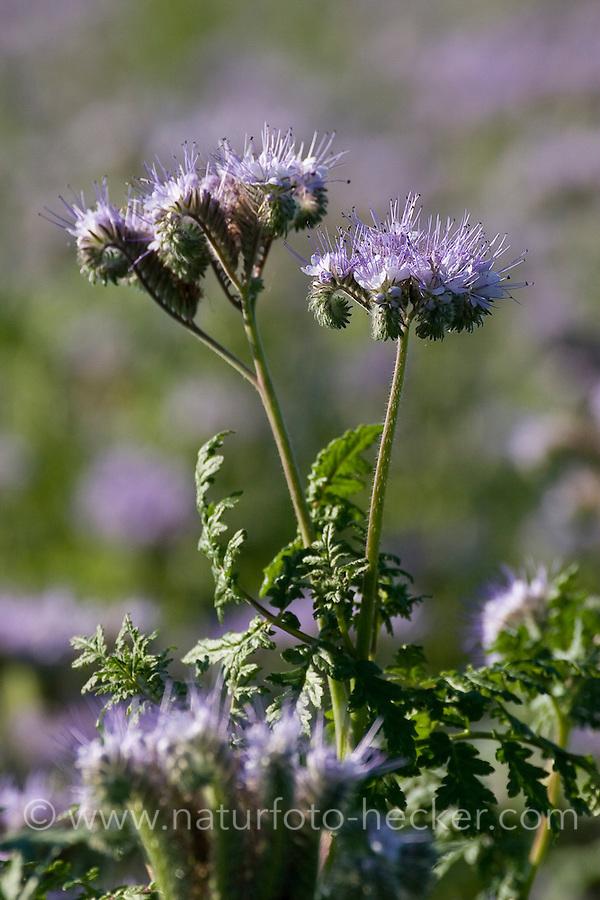 Phazelie, Büschelschön, Rainfarn-Büschelschön, Bienenfreund, Phacelia tanacetifolia, Bluebell