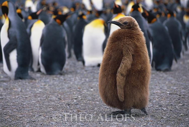 Juvenile King Penguin; Salisbury Plains, South Georgia