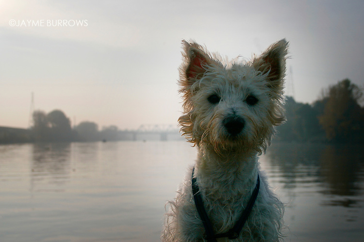 A dirty West Highland Terrier stands on the side of a fishing boat.