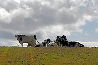 Dry Holstein cows on stubble field near Annestown, Waterford, Ireland.