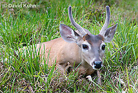 0528-1110  Central American White-tailed Deer, Belize, Male Deer with Velvet Antlers (antlers growing in soft cartilaginous state), Odocoileus virginianus truei  © David Kuhn/Dwight Kuhn Photography