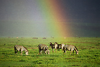 3MB395  Burchell's Zebra or Plains Zebra grazing during rainstorm in Ngorongoro Crater,  Tanzania.