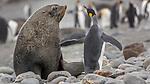 South Georgia Island (British Overseas Territory) , king penguin (Aptenodytes patagonicus) , Antarctic fur seal (Arctocephalus gazella)