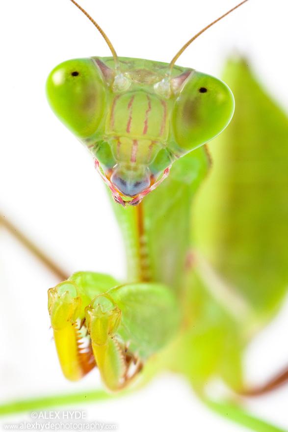 Australian Giant Rainforest Mantis {Hierodula majuscula} subadult. Photographed on a white background. Captive, orginating from Australia.