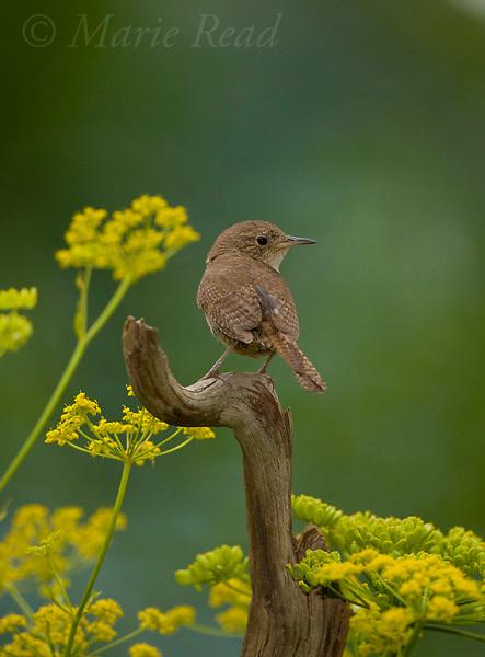 House Wren (Troglodytes aedon), Ithaca, New York, USA