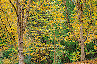 ORPTH_138 - USA, Oregon, Portland, Hoyt Arboretum, Autumn colored Himalayan birch trees (Betula utilis) display distinctive white bark.