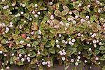 Pink-Head Knotweed, Polygonum capitatum, groundcover