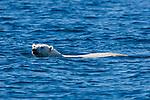 Norway, Svalbard, polar bear swimming across fjord