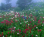 Mount Rainier National Park,  WA<br /> Red paintbrush, white valerian, and purple lupine blooming in alpine meadow in fog at Paradise