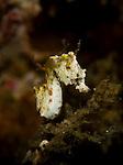 Pontohi pygmy seahorse, Hippocampus sp., Lembeh Strait, Bitung, Manado, North Sulawesi, Indonesia, Pacific Ocean