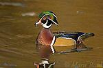 Wood Duck (Aix sponsa), male calling, Ohio, USA