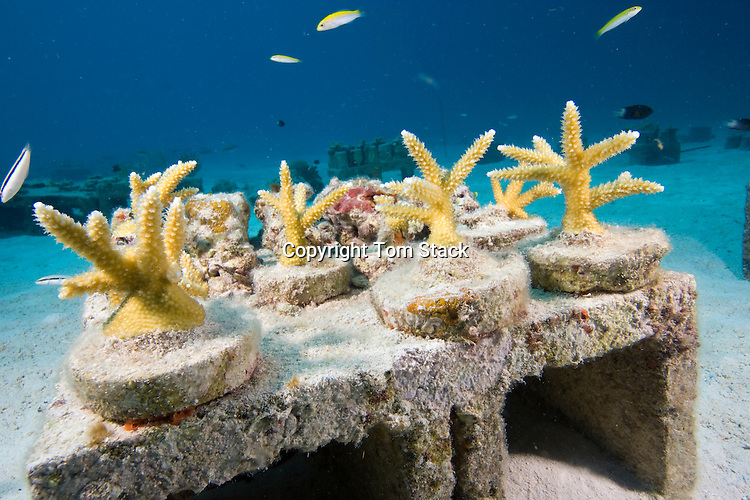 University students help harvest young Staghorn Coral from an underwater nursery for relocation to a damaged reef site off Key Largo, Florida Keys, USA Editorial use only, NO sales to U.S. dive magazines
