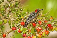 Black-cheeked Woodpecker feeding, Belize