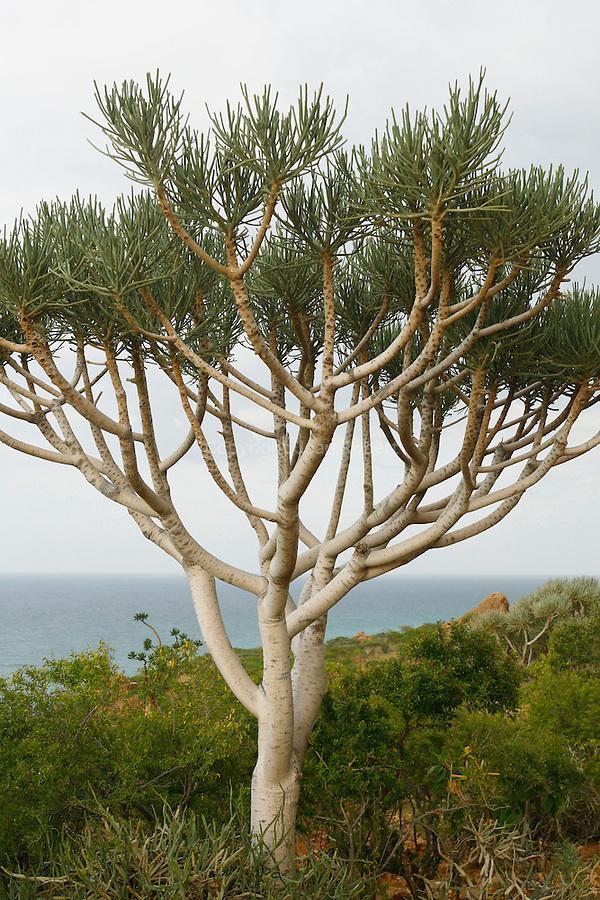 .Socotran tree euphorbia (Euphorbia arbuscula) endemic Socotra. Yemen.