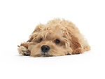 Cockapoo cute cross breed dog of cocker spaniel and a poodle lying down isolated on white background