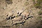 Newborn bighorn sheep lambs running. Yellowstone National Park, Montana.