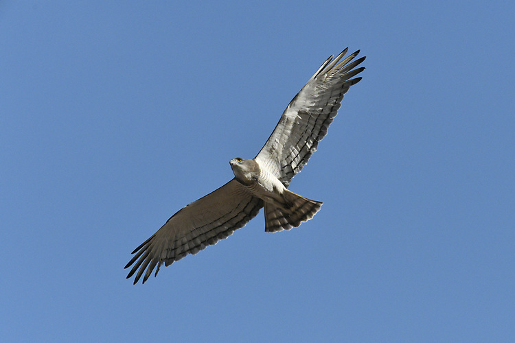 Beaudouin's Snake-eagle - Circaetus beaudouini