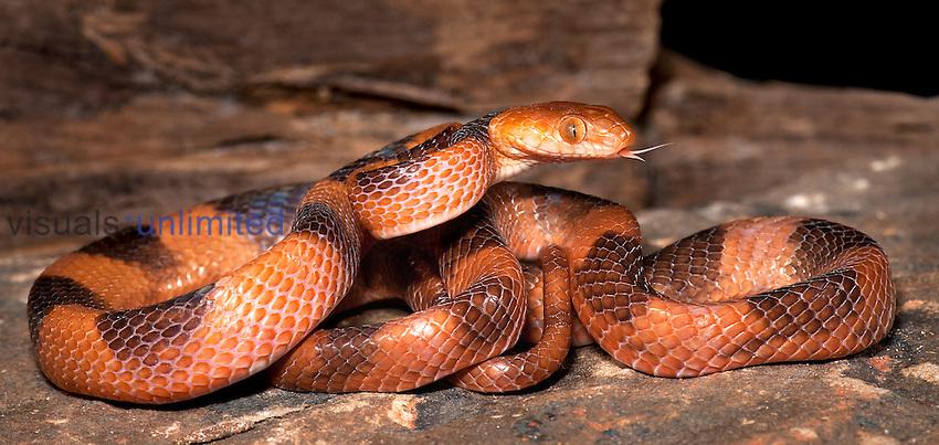Tiger Snake (Telescopus semiannulatus), captive.