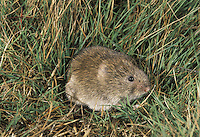 Short-tailed Vole (Field Vole) Microtus agrestis Length 11-16cm Locally abundant grassland rodent. Makes network of concealed surface runways and tunnels just below surface of soil, or through compacted roots of grasses. Diet comprises mainly grass roots. Adult has plump body and a relatively shorter tail and smaller ears than Bank Vole. Coat colour is mainly grey brown, palest on chest and belly. Utters shrill squeaks in alarm. Common in grassy habitats ranging from lowland meadows to upland moors. Widespread but absent from Ireland and most islands.