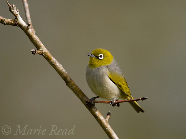Silvereye (Grey-backed) Zosterops lateralis (Race vegetus?), Atherton Tableland, Queensland, Australia.
