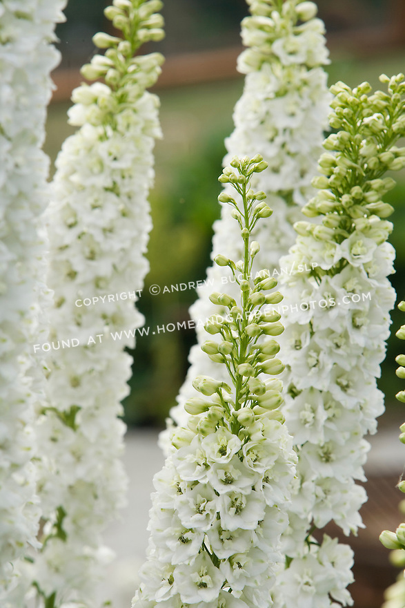 A close-up, detail view of white delphinium stalks in the Sissinghurst-style white garden behind the farmhouse on this property.  The garden also includes white peonies, roses, bleeding heart and garden flox, among others.
