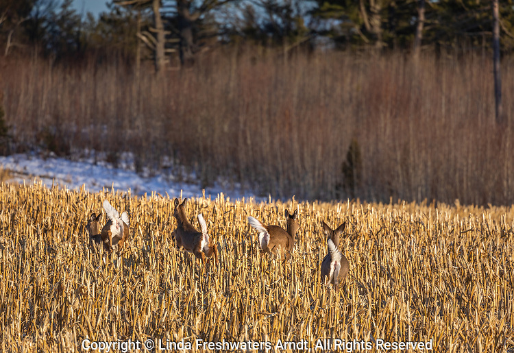 Alarmed whitetails in a cut cornfield in northern Wisconsin.