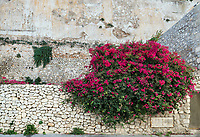 Bougainvillea flowers, Ibiza Town, Dalt Vila,  Balearic Islands, Spain, Europe,