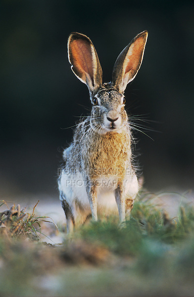 Black-tailed Jackrabbit, Lepus californicus, adult, Starr County, Rio Grande Valley, Texas, USA, May 2002