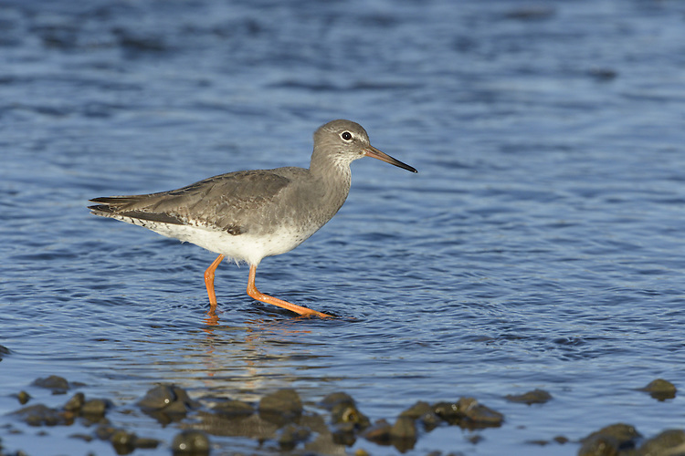 Redshank Tringa totanus - winter adult. L 28cm. Medium-sized wader with shrill alarm call. In flight, note white trailing edge to wings, white back and rump, and trailing red legs. Sexes are similar. Adult in summer is mainly grey-brown above and pale below but back is marked with dark spots and neck, breast and flanks are streaked. Note faint, pale supercilium and eyering; base of bill is reddish. In winter, has uniform grey-brown upperparts, head, neck and breast, with paler, mottled underparts. Bill and leg colours are dull. Juvenile recalls winter adult but plumage is overall browner, back feathers have pale marginal spots, and legs and base of bill are dull yellow. Voice Utters a yelping tiu-uu alarm call. Song is musical and yodelling. Status Locally common nesting species in damp grassland, moors and marshes. Migrants boost numbers outside breeding season and common on coasts in winter.