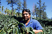 Costa Rica. Coffee worker inspecting young coffee beans on the bushes.
