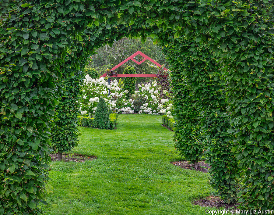 Vashon Island, Washington: Hornbeam (Carpinus betulus) arches make a formal entrance to a summer garden of  hydrangeas and boxwood.  Froggsong Garden,