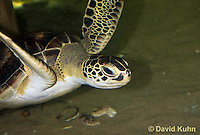 0606-0906  Atlantic Green Sea Turtle Swimming Underwater, Chelonia mydas  © David Kuhn/Dwight Kuhn Photography