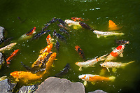 Feeding time for the fish in the koi pond at the San Mateo City Park's Japanese Garden.