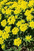 Vielfarbige Wolfsmilch, Vielfarbige Wolfmilch, Bunt-Wolfsmilch, Bunte Wolfsmilch, Gold-Wolfsmilch, Euphorbia epithymoides, Euphorbia polychroma, cushion spurge, cushion euphorbia
