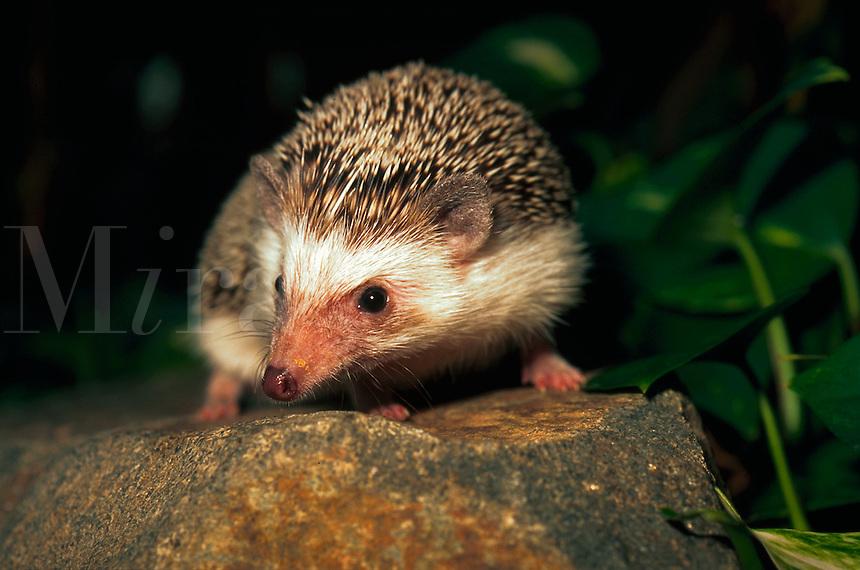 African Pygmy Hedgehog.