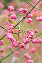 Pink autumn fruits of Chinese spindle tree (Euonymus hamiltonianus 'Pink Delight'), early October.