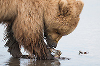 Alaskan brown bear cub clamming in the tidal flats of Lake Clark National Park, Alaska